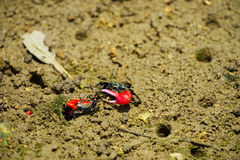 Fiddler crab-Uca chlorophthalma crassipes, Okinawa Prefecture/Ja Royalty Free Stock Images