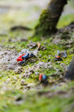 Fiddler crab-Uca chlorophthalma crassipes Royalty Free Stock Photography