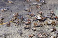 Fiddler crab, uca pugnax Royalty Free Stock Photos