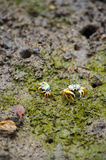 Fiddler crab-Uca vocans, Okinawa Prefecture/Japan Royalty Free Stock Photo