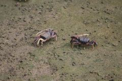 Fiddler crabs royalty free stock photo