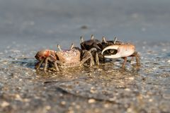 Fiddler Crabs at Canaveral National Seashore. royalty free stock photography