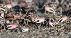 Fidler crabs gather at Canaveral National Seashore. Fiddler crabs in Canaveral National Seashore stock photography