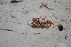 Fiddler Crabs Stock Photography