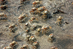 Fiddler Crabs Stock Photos