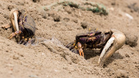 Fiddler crabs in the sand Royalty Free Stock Photos