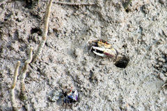 Fiddler crabs, wetlands. Mangrove forest Royalty Free Stock Photo