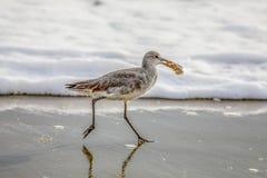 Fiddler preoccupantesi della sabbia di Willet sulla spiaggia fotografia stock libera da diritti