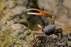 Fiddlerkrab die zijn pinchers opheffen stock afbeeldingen