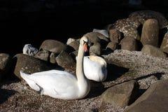 Fidelidad del cisne Junto por siempre fotos de archivo libres de regalías