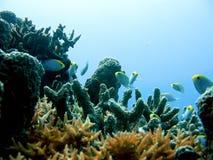 Fidhes e coral pequenos Fotografia de Stock Royalty Free