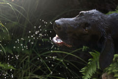 Fido. Black dog drinking water in the garden Stock Photography