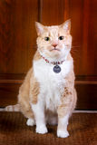 Fido, the guard cat. A tough looking cat wears a spiked collar and has a name tag Fido Stock Photo