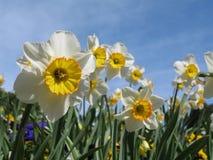 Fie bianco e giallo dei daffodils Fotografie Stock