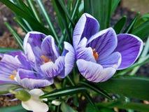 Fiebre de la primavera en febrero fotografía de archivo