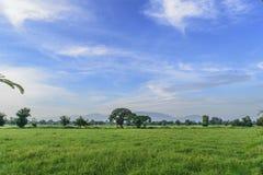 fied ryżu Zdjęcie Stock