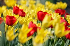 Fiel of Tulip. Focla point near middle on a yellow tulip Royalty Free Stock Image