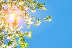 field весна рапса ландшафта солнечная Цветки весны зацветая яблони Стоковые Фото
