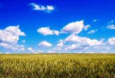 Field где хлеб растет Стоковое Изображение