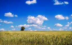 Field где хлеб растет Стоковая Фотография