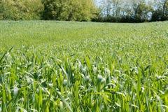 field детеныши пшеницы Стоковые Фото