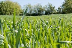 field детеныши пшеницы Стоковое Изображение RF