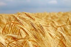 field желтый цвет пшеницы Стоковая Фотография RF