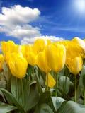 field желтый цвет тюльпанов Стоковое фото RF