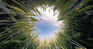 field зеленая пшеница акции видеоматериалы