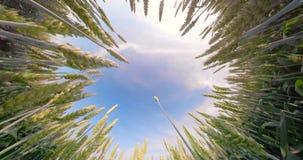 field зеленая пшеница сток-видео