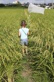 field зеленый рис Стоковое Изображение RF