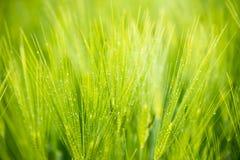 field зеленая пшеница Стоковые Изображения