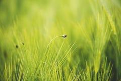 field зеленая пшеница Стоковая Фотография RF