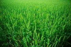 field зеленая пшеница Стоковое Изображение