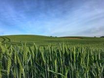 field зеленая пшеница стоковые фотографии rf
