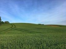 field зеленая пшеница стоковое фото rf