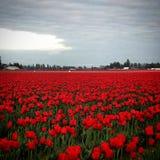 field красные тюльпаны стоковое изображение rf