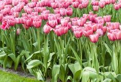 field красные тюльпаны Стоковые Изображения RF