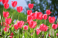 field красные тюльпаны Стоковая Фотография RF