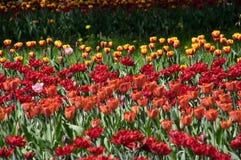 field красные тюльпаны Стоковое фото RF