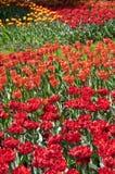 field красные тюльпаны Стоковое Изображение
