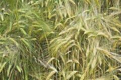 Field незрелый ячмень с одиночные уши овсов Стоковое Изображение RF