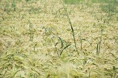 Field незрелый ячмень с одиночные уши овсов Стоковые Фотографии RF