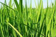 field неочищенные рисы Стоковая Фотография RF