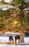 field пасти лошадей Стоковая Фотография