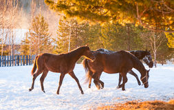 field пасти лошадей Стоковые Фото