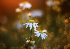 Field при красивые цветки маргаритки окруженные гениальным Golde стоковое изображение rf