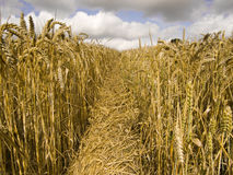 field пшеница стоковые фото