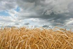 field пшеница стоковое изображение