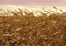 field пшеница Стоковое фото RF